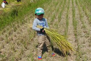 稲刈り 食育ツアー
