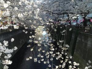 full blossom meguroriver