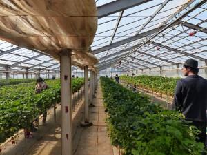 高設栽培 イチゴ狩り オススメ